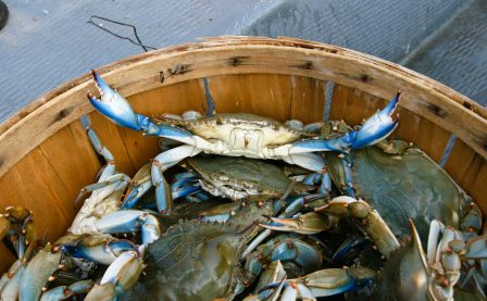 Bushel of blue crabs