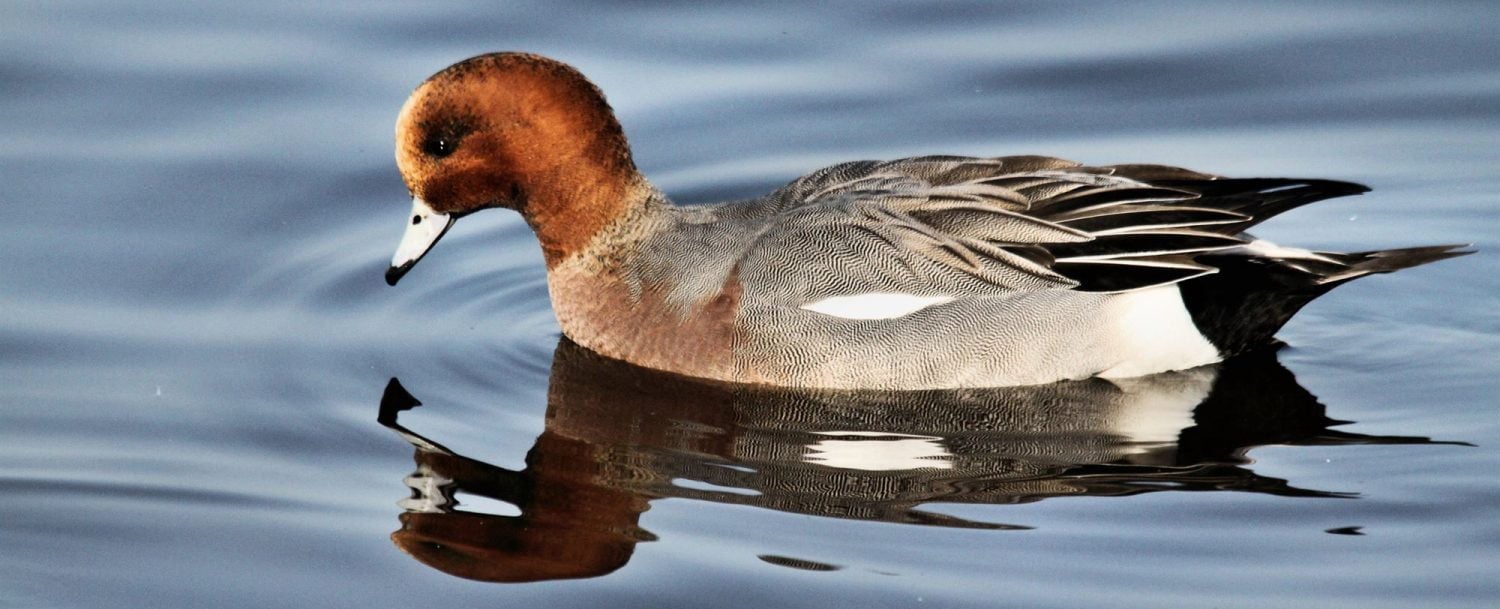 Canvasback Duck on water