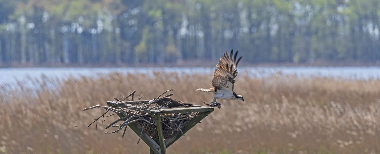 Osprey Leaving the Nest in the Blackwater Wildlife Refuge in Maryland